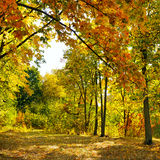 Autumn forest and fallen yellow leaves Royalty Free Stock Images