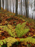 Autumn forest with fern Royalty Free Stock Image
