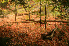 Autumn on the Forest Floor. This colorful fall photograph shows an open forest floor full of autumn warmth Royalty Free Stock Photo
