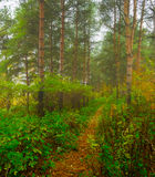 Autumn forest in the fog - autumn forest landscape Royalty Free Stock Photos