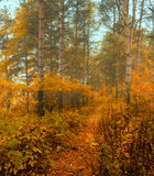 Autumn forest in the fog - autumn misty forest landscape Royalty Free Stock Image