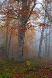 Autumn forest in fog Royalty Free Stock Photography