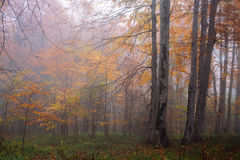 Autumn forest in fog Royalty Free Stock Image