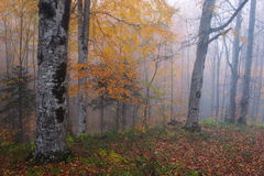 Autumn forest in fog Stock Photography