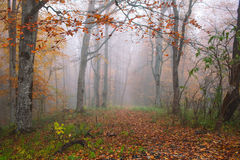 Autumn forest in fog Royalty Free Stock Photo