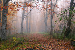 Autumn forest in fog Stock Photo