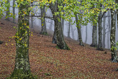 Autumn in the forest with fog,Monte Cucco NP, Umbria, Italy Stock Photography