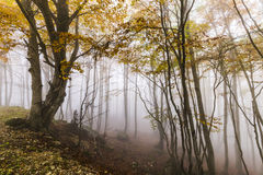Autumn forest in the fog Stock Photography