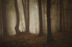 Autumn in forest with fog in the northern hemisphere Royalty Free Stock Photo