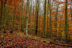 Autumn Forest with Foliage Royalty Free Stock Images