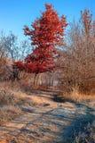 Autumn Forest frosty sunny morning. Landscape. Nature Stock Photo