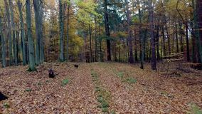 Autumn forest full of trees arranged in a stack in Poland stock footage