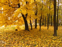 Autumn forest. Golden autumn in the maple forest Royalty Free Stock Photos