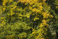Autumn forest with green and yellow leafs Royalty Free Stock Images