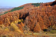 Autumn forest on the hills Stock Photography