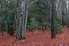 Autumn forest, Hoegne, Ardennes, Belgium. Leafs on the ground, and beech and pine trees in the nature reserve park of Hoegne in the Ardennes near the High Fens royalty free stock image
