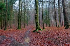 Autumn forest, Hoegne, Ardennes, Belgium. Leafs on the ground, and beech trees in the nature reserve park of Hoegne in the Ardennes near the High Fens, Hockai stock images