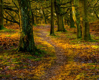 Autumn forest. Forest in Holland with nice yellow and orange colors Royalty Free Stock Photo