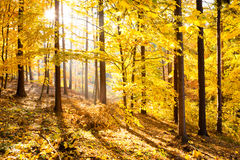 Autumn forest inspirational landscape, fall scenery. Autumn forest inspirational landscape. Fall scenery with yellow warm sunlight and sun in gold trees and royalty free stock image