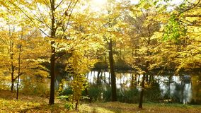 Autumn forest lake sun. Autumn nature landscape with birches forest lake stock footage