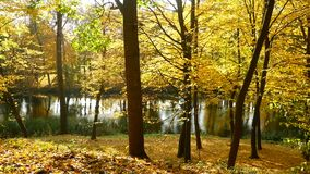 Autumn forest lake sun. Autumn nature landscape with birches forest lake stock video
