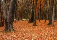Autumn Forest Landscape. Beautiful orange colors of Autumn in a wooded forest Stock Photography