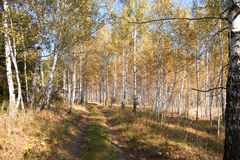 Autumn forest landscape. Autumn forest landscape with birch trees and roads Stock Photography