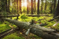 Autumn forest landscape. Bright sun in beautiful woodland. Ground covered by green moss royalty free stock photos