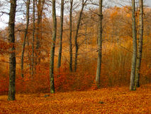Autumn forest landscape with fallen down leaves Royalty Free Stock Photography