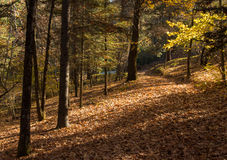 Autumn forest landscape. With maple yellow leaves on the ground at Troodos mountains in Cyprus royalty free stock images