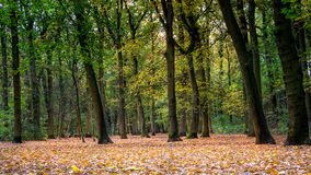 Autumn in forest. Landscape photo: the forest of Bergen in Northern Holland in autumn stock image