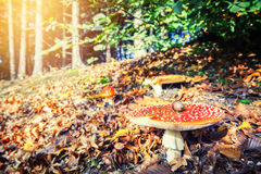 Autumn forest landscape with red cap mushroom Stock Photo
