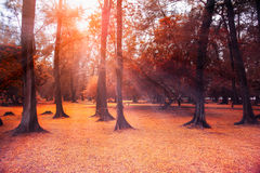 Autumn forest landscape with the sun rays of light. Royalty Free Stock Photography