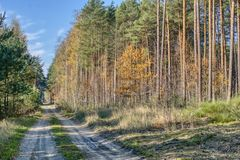 Autumn road in a pine forest stock photos