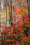 Autumn Forest Landscape. Various colorful trees in the forest in North Carolina royalty free stock photos