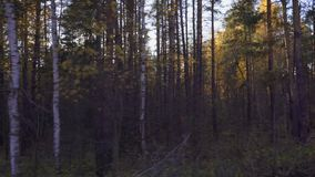 Autumn forest landscape from the window of a moving car or train. The camera moves past trees, birch, pine, aspen covered with yellow and red leaves. The sun`s stock footage