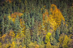 Autumn forest landscape-yellowed autumn trees and fallen autumn Royalty Free Stock Images