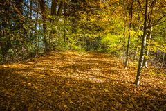 Autumn forest landscape-yellowed autumn trees and fallen autumn Royalty Free Stock Photography