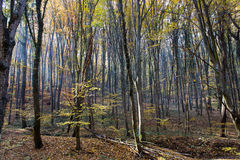 Autumn Forest with Leafs Changing Color Royalty Free Stock Photos