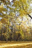 Autumn forest. Leafs trees stock photography