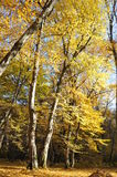Autumn forest. Leafs trees sky royalty free stock images