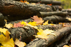 Autumn forest. Autumn leaves fall on the wood stock image