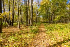 Autumn forest with leaves on the ground Royalty Free Stock Images