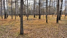 Autumn forest without leaves royalty free stock photos