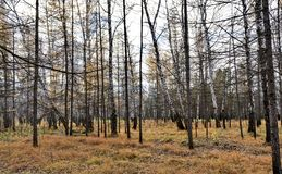Autumn forest without leaves royalty free stock images