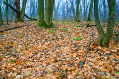 Autumn forest. In light fog on a cloudy day royalty free stock images