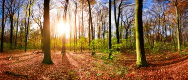 Autumn forest in the light of the rising sun Royalty Free Stock Images