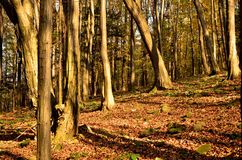 Autumn forest. Lit by the sun Royalty Free Stock Image