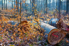 Autumn forest and logs Royalty Free Stock Photography