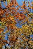 Autumn forest look-up. Autumn young oak tree forest look-up with blue sky and golden autumn tones Royalty Free Stock Image